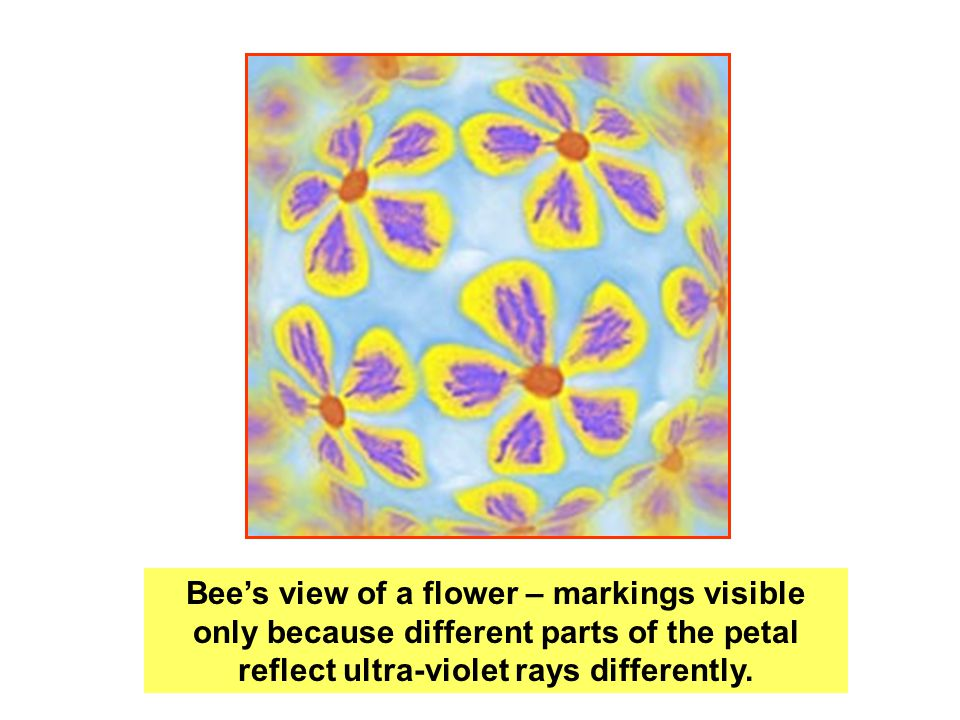 Bee's view of a flower – markings visible only because different parts of the petal reflect ultra-violet rays differently.