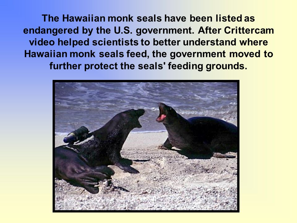 The Hawaiian monk seals have been listed as endangered by the U.S. government. After Crittercam video helped scientists to better understand where Haw