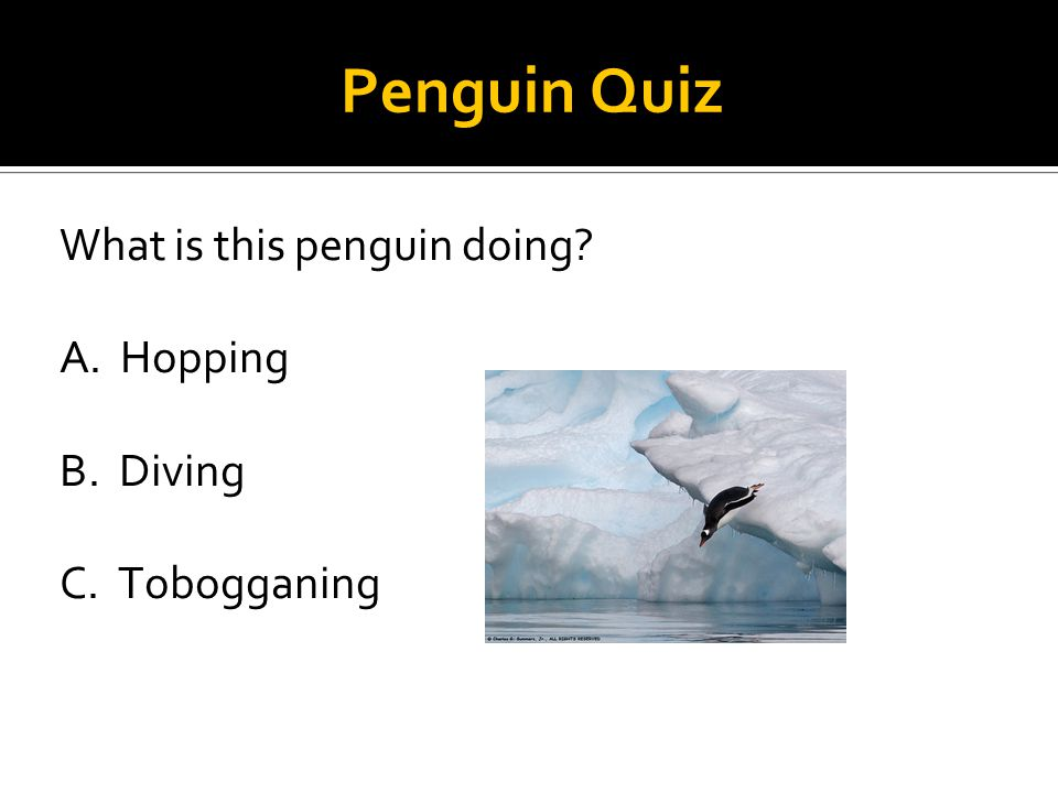 Penguin Quiz What is this penguin doing A. Hopping B. Diving C. Tobogganing
