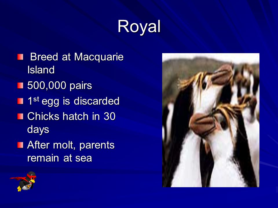 Rockhopper Hop from rock to rock Able to hop 4-5 ft While at sea, roam 100 miles from land Only penguins to enter water feet first
