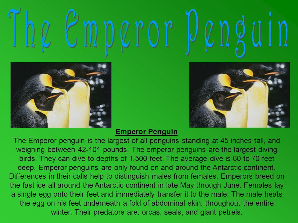 Emperor Penguin The Emperor penguin is the largest of all penguins standing at 45 inches tall, and weighing between 42-101 pounds.