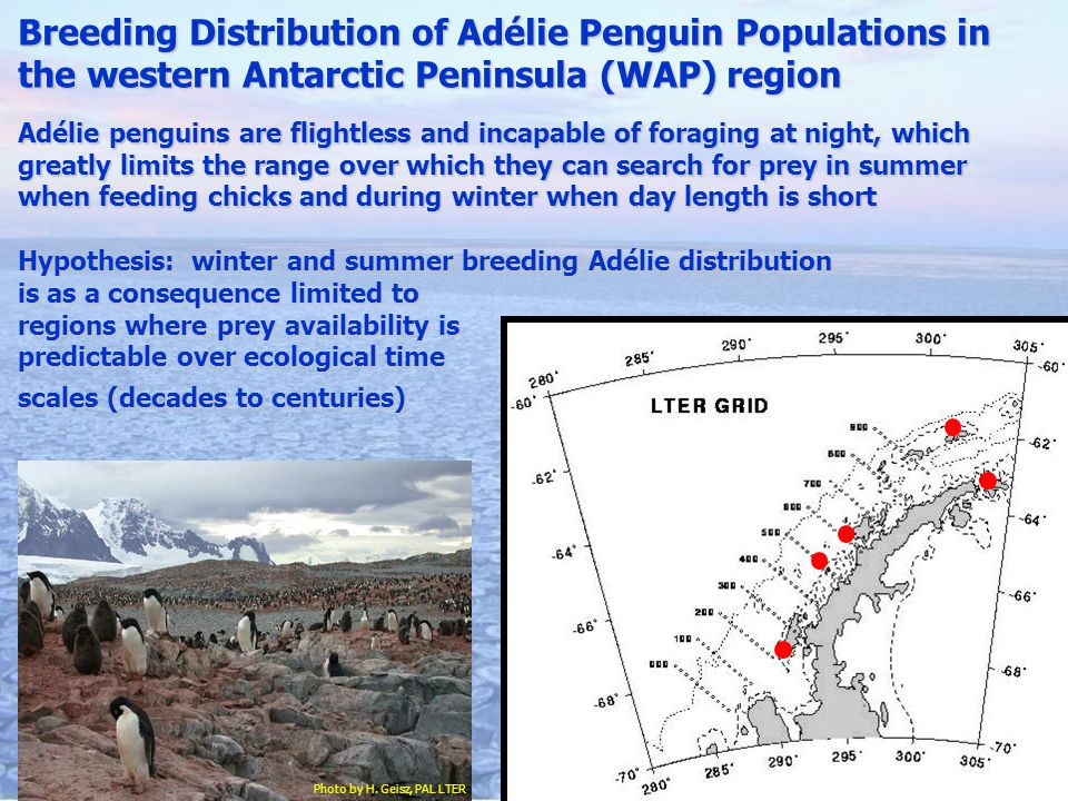 Breeding Distribution of Adélie Penguin Populations in the western Antarctic Peninsula (WAP) region Adélie penguins are flightless and incapable of foraging at night, which greatly limits the range over which they can search for prey in summer when feeding chicks and during winter when day length is short Hypothesis: winter and summer breeding Adélie distribution is as a consequence limited to regions where prey availability is predictable over ecological time scales (decades to centuries) Photo by H.