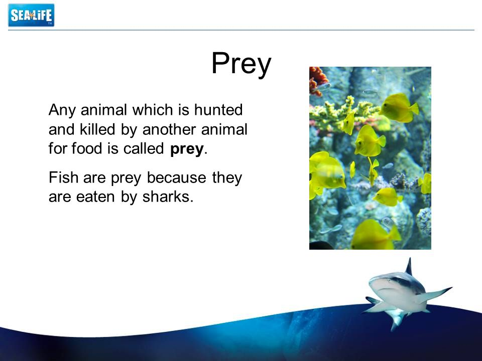 Prey Any animal which is hunted and killed by another animal for food is called prey. Fish are prey because they are eaten by sharks.