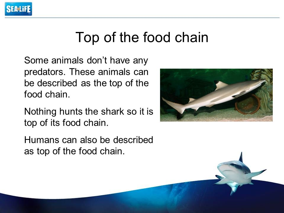 Top of the food chain Some animals don't have any predators. These animals can be described as the top of the food chain. Nothing hunts the shark so i