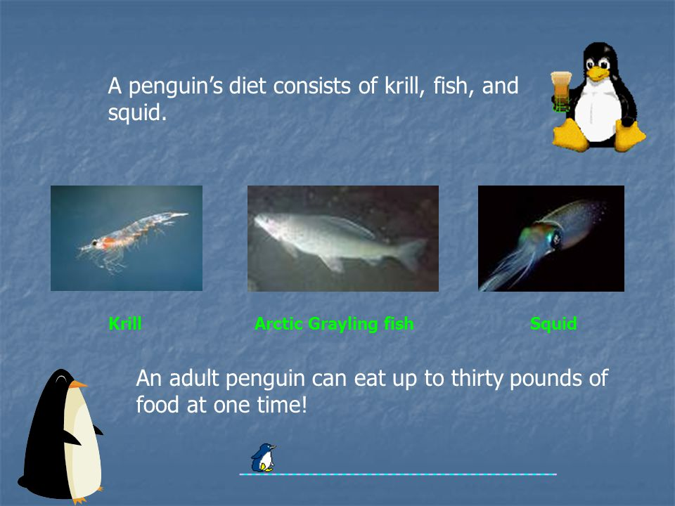 An adult penguin can eat up to thirty pounds of food at one time.