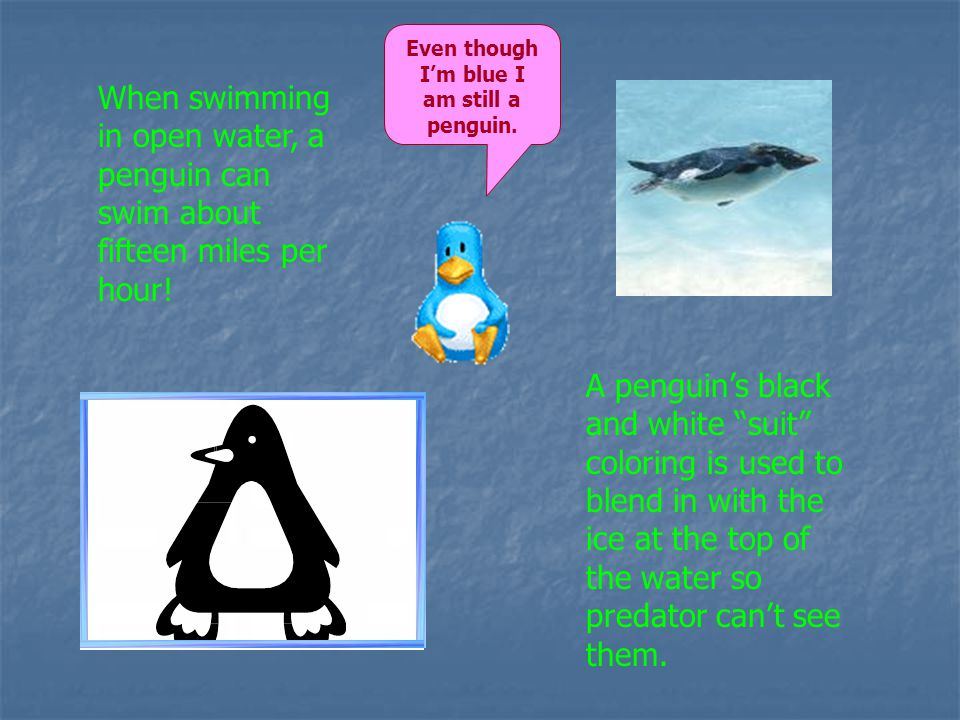 When swimming in open water, a penguin can swim about fifteen miles per hour.