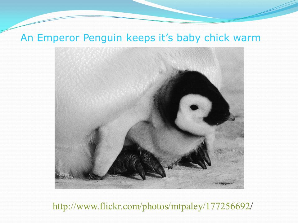 An Emperor Penguin keeps it's baby chick warm http://www.flickr.com/photos/mtpaley/177256692/
