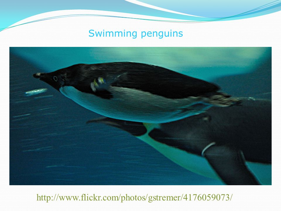 Swimming penguins http://www.flickr.com/photos/gstremer/4176059073/