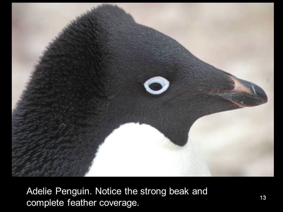 13 Adelie Penguin. Notice the strong beak and complete feather coverage.