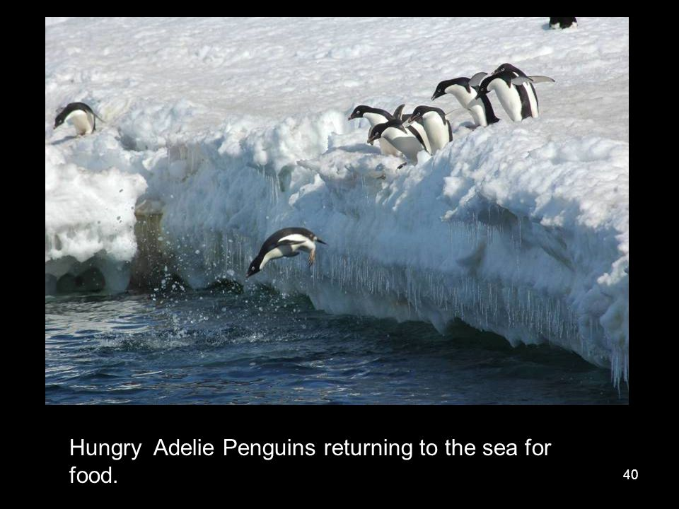 40 Hungry Adelie Penguins returning to the sea for food.