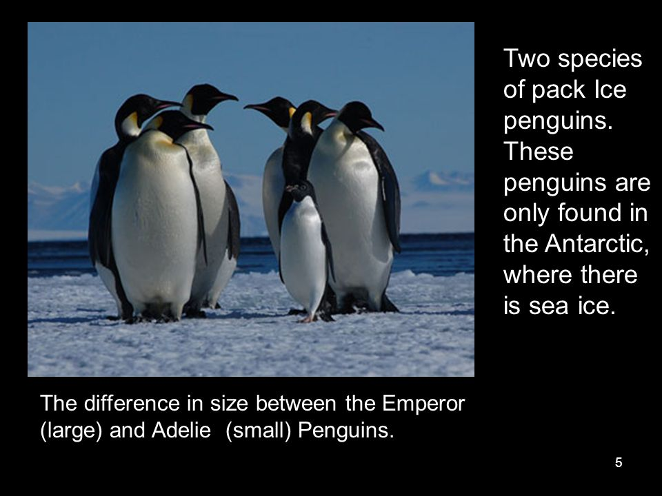 5 The difference in size between the Emperor (large) and Adelie (small) Penguins. Two species of pack Ice penguins. These penguins are only found in t