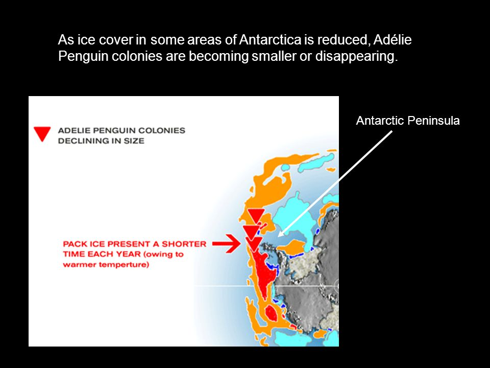 As ice cover in some areas of Antarctica is reduced, Adélie Penguin colonies are becoming smaller or disappearing.