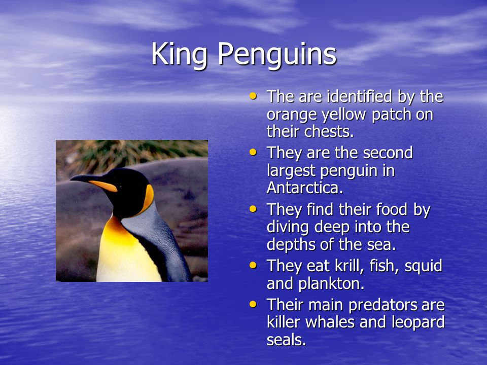 King Penguins The are identified by the orange yellow patch on their chests.