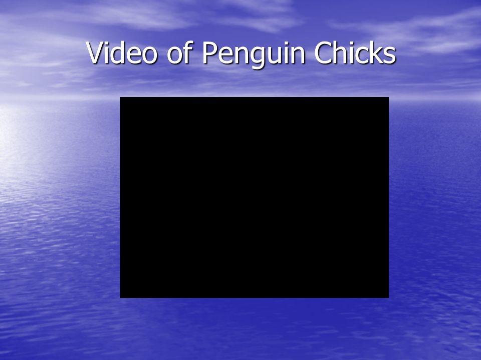 Video of Penguin Chicks