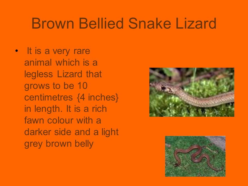 Brown Bellied Snake Lizard It is a very rare animal which is a legless Lizard that grows to be 10 centimetres {4 inches} in length. It is a rich fawn