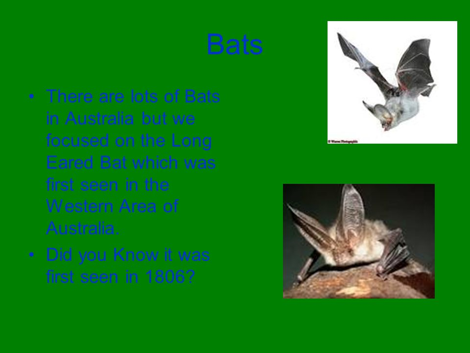 Bats There are lots of Bats in Australia but we focused on the Long Eared Bat which was first seen in the Western Area of Australia. Did you Know it w