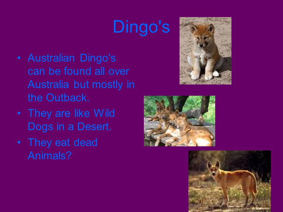 Dingo's Australian Dingo's can be found all over Australia but mostly in the Outback. They are like Wild Dogs in a Desert. They eat dead Animals?