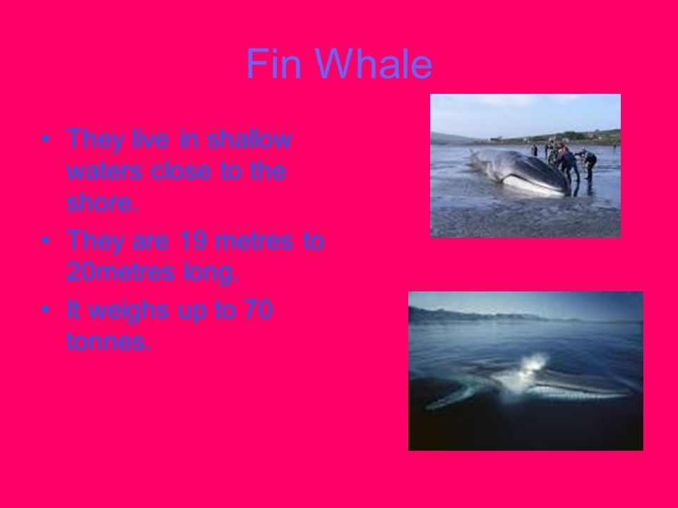 Fin Whale They live in shallow waters close to the shore. They are 19 metres to 20metres long. It weighs up to 70 tonnes.