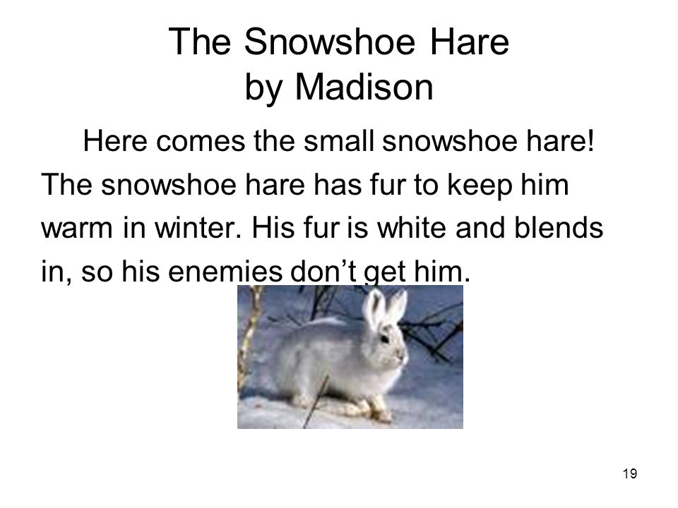 19 The Snowshoe Hare by Madison Here comes the small snowshoe hare.