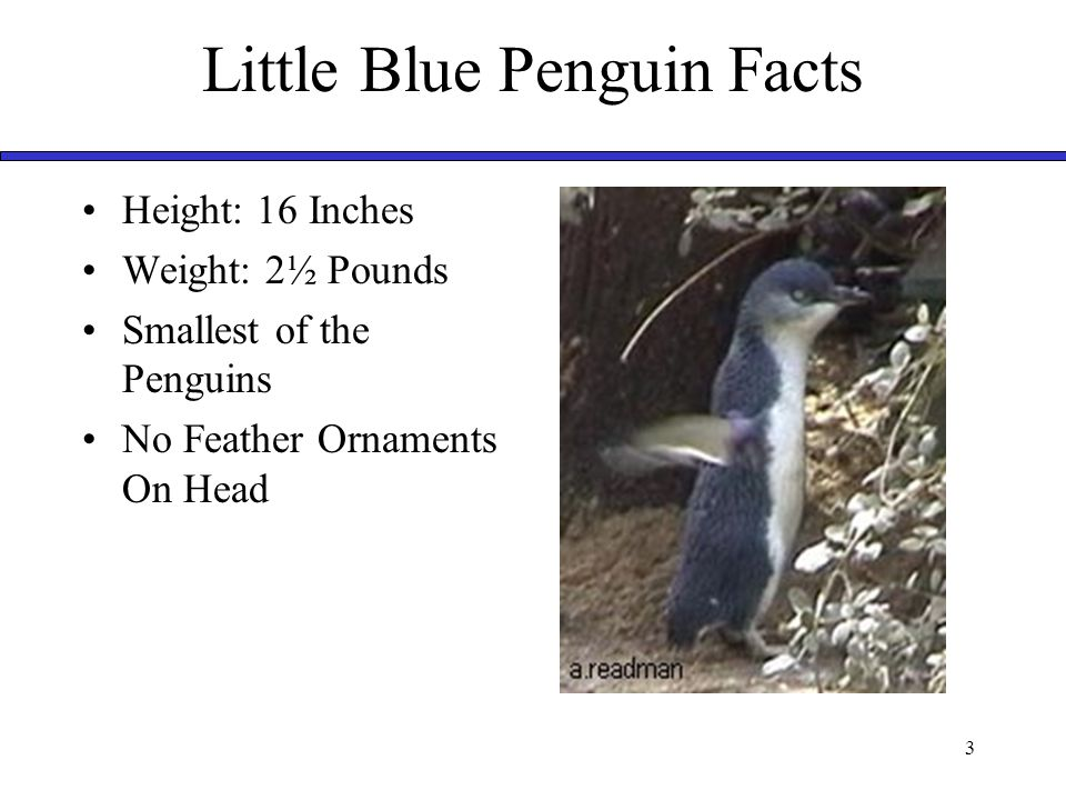 3 Little Blue Penguin Facts Height: 16 Inches Weight: 2½ Pounds Smallest of the Penguins No Feather Ornaments On Head