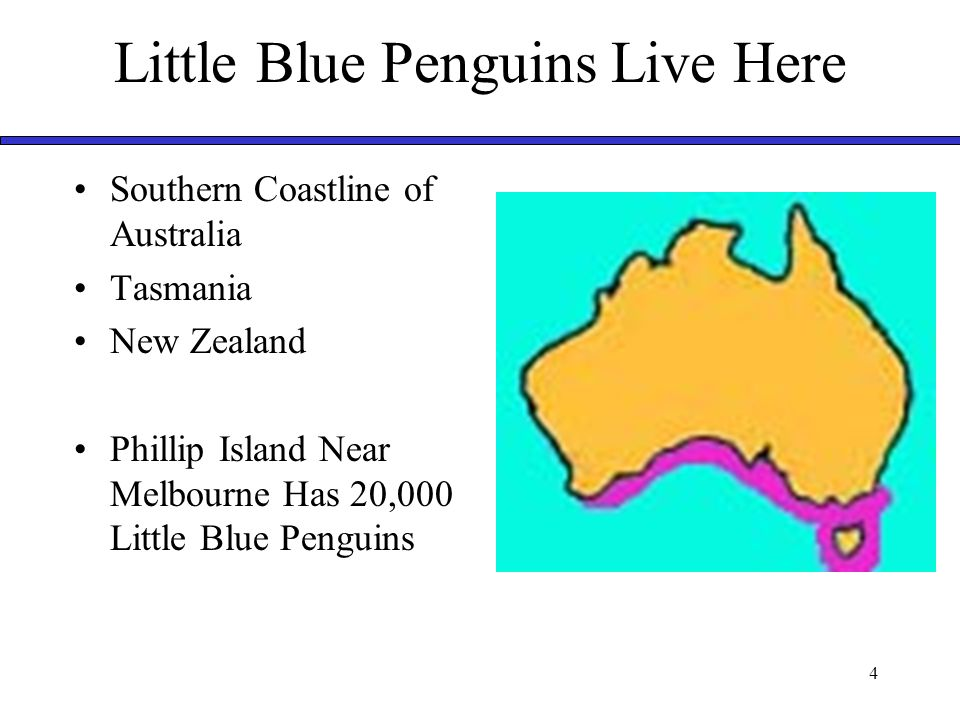5 Little Blue Penguins Are Busy During Day  They Swim in Rafts  They Hunt for Food Anchovies (Fish) Philchard (Fish) Squid Small octopi During Night  Go Back to Homes  Live In Burrows Rock Crevices  They Are Very Noisy