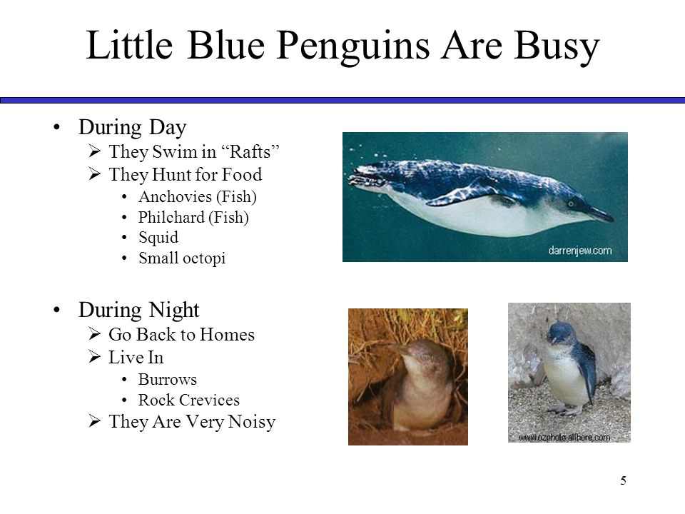 "5 Little Blue Penguins Are Busy During Day  They Swim in ""Rafts""  They Hunt for Food Anchovies (Fish) Philchard (Fish) Squid Small octopi During Nig"