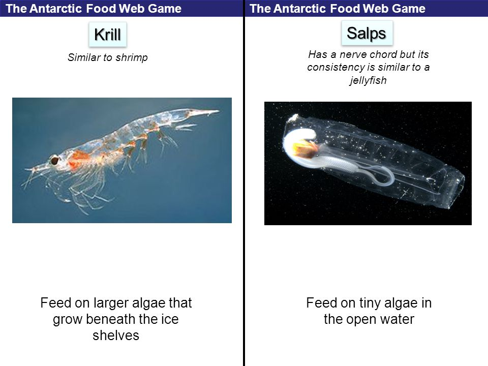 KrillKrill Feed on larger algae that grow beneath the ice shelves SalpsSalps Feed on tiny algae in the open water Similar to shrimp Has a nerve chord but its consistency is similar to a jellyfish The Antarctic Food Web Game