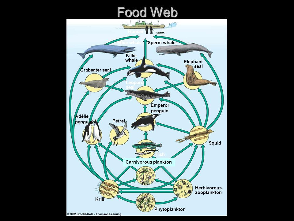 Food Web Human Blue whaleSperm whale Crabeater seal Killer whale Elephant seal Leopard seal Adélie penguins Petrel Fish Squid Carnivorous plankton Krill Phytoplankton Herbivorous zooplankton Emperor penguin