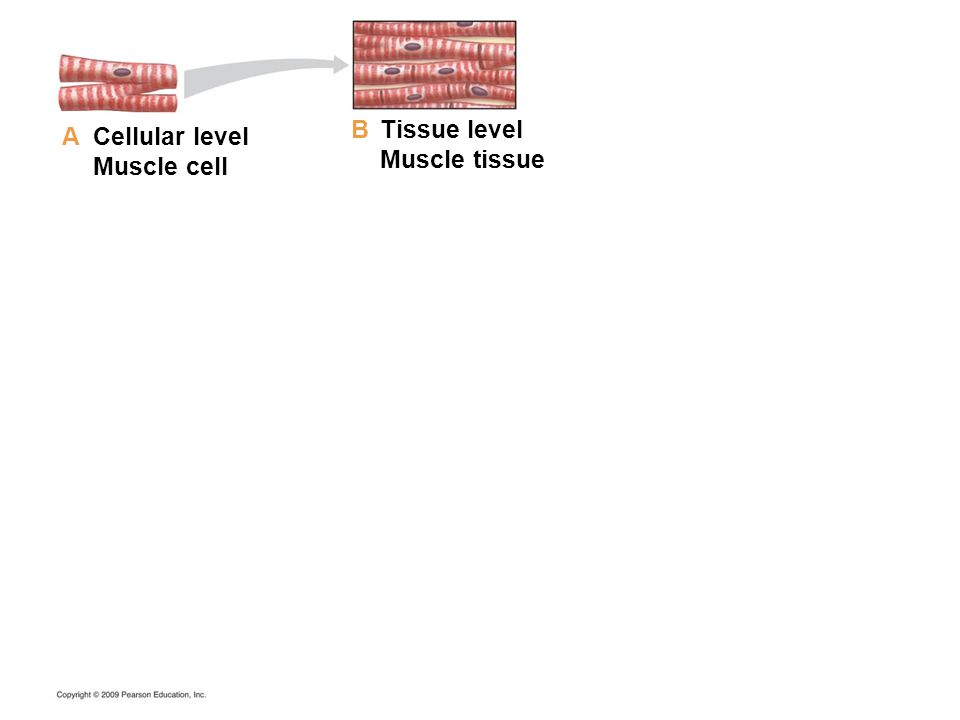 Cellular level Muscle cell Tissue level Muscle tissue A B