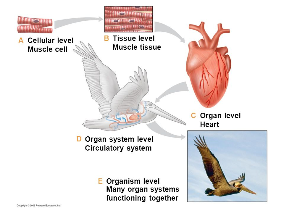 Cellular level Muscle cell Tissue level Muscle tissue Organ level Heart Organ system level Circulatory system Organism level Many organ systems functi