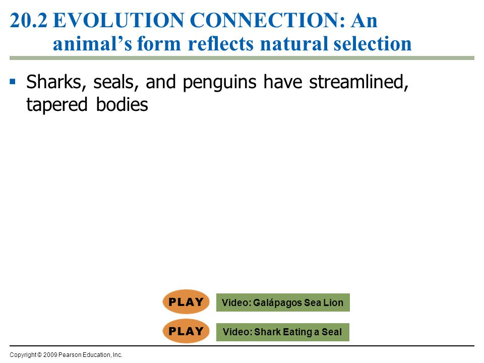 20.2 EVOLUTION CONNECTION: An animal's form reflects natural selection  Sharks, seals, and penguins have streamlined, tapered bodies Copyright © 2009