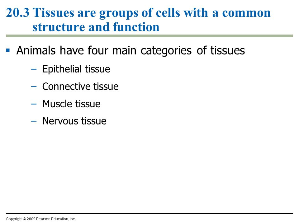 20.3 Tissues are groups of cells with a common structure and function Copyright © 2009 Pearson Education, Inc.  Animals have four main categories of