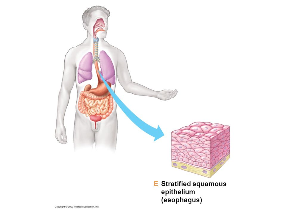 E Stratified squamous epithelium (esophagus)