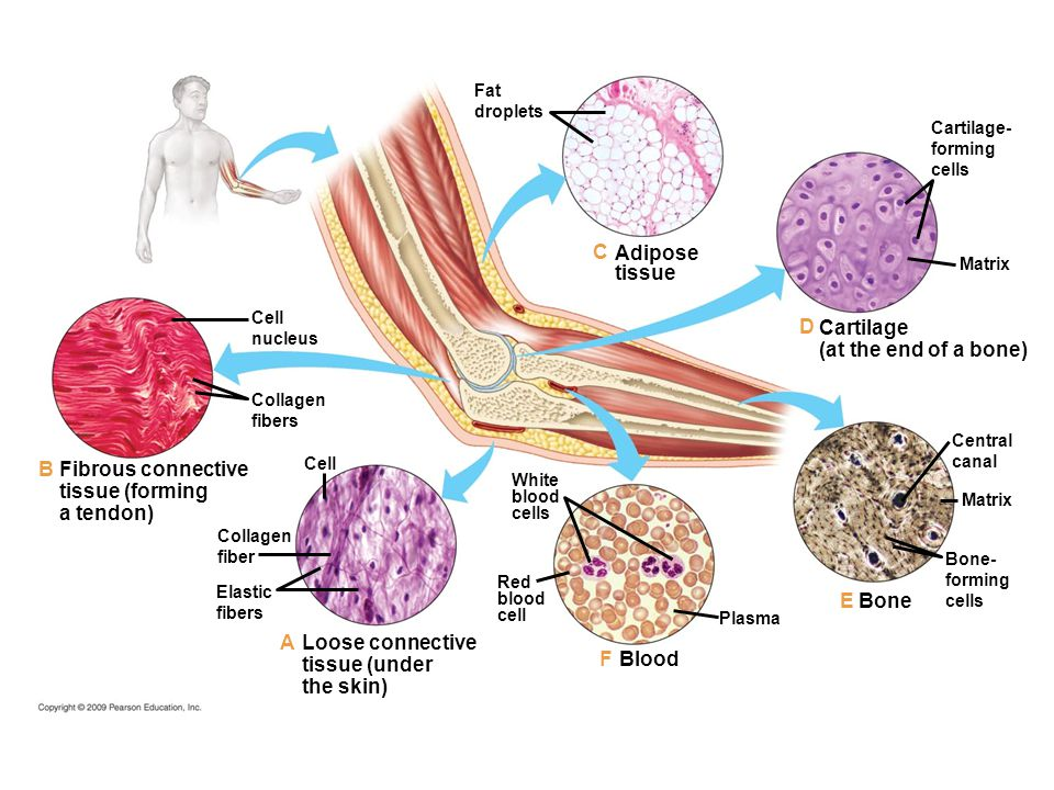 Fat droplets Adipose tissue White blood cells Red blood cell Blood Plasma Loose connective tissue (under the skin) Elastic fibers Collagen fiber Cell Fibrous connective tissue (forming a tendon) Collagen fibers Cell nucleus Cartilage (at the end of a bone) Matrix Cartilage- forming cells Central canal Matrix Bone- forming cells Bone B A F E D C