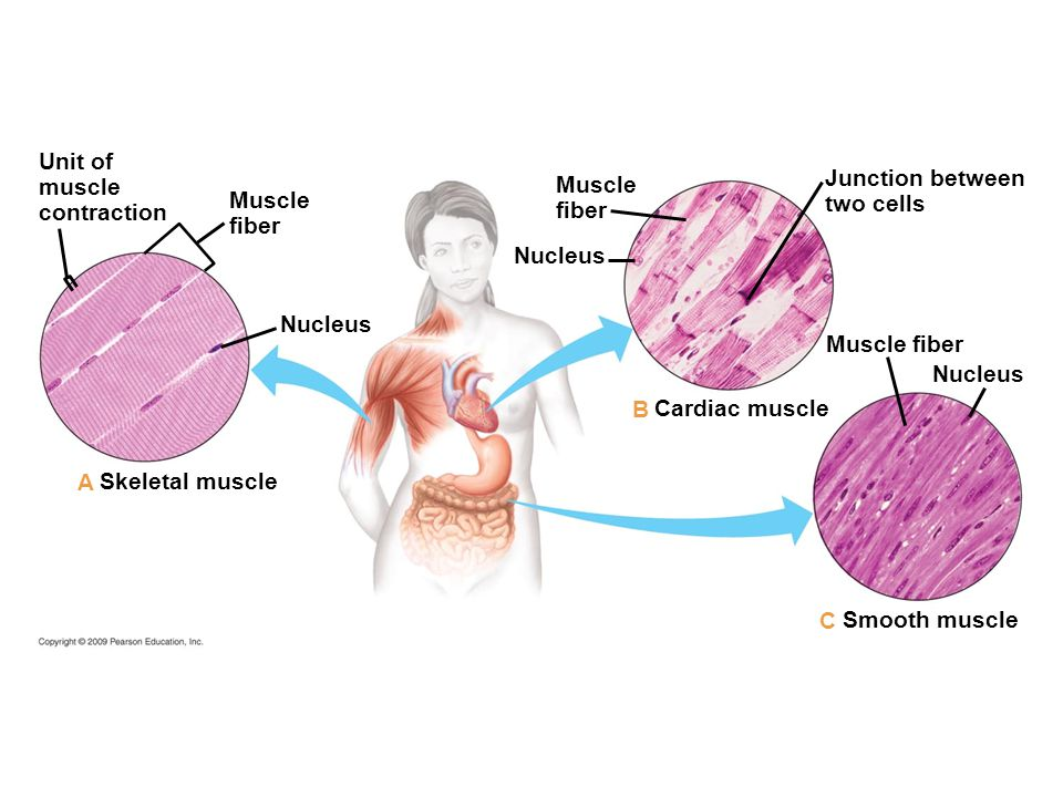 Unit of muscle contraction Muscle fiber Nucleus Muscle fiber Junction between two cells Nucleus Muscle fiber Cardiac muscle Smooth muscle Skeletal muscle C B A