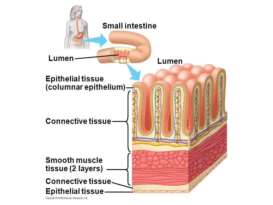 Small intestine Lumen Epithelial tissue Connective tissue Smooth muscle tissue (2 layers) Connective tissue Epithelial tissue (columnar epithelium) Lu