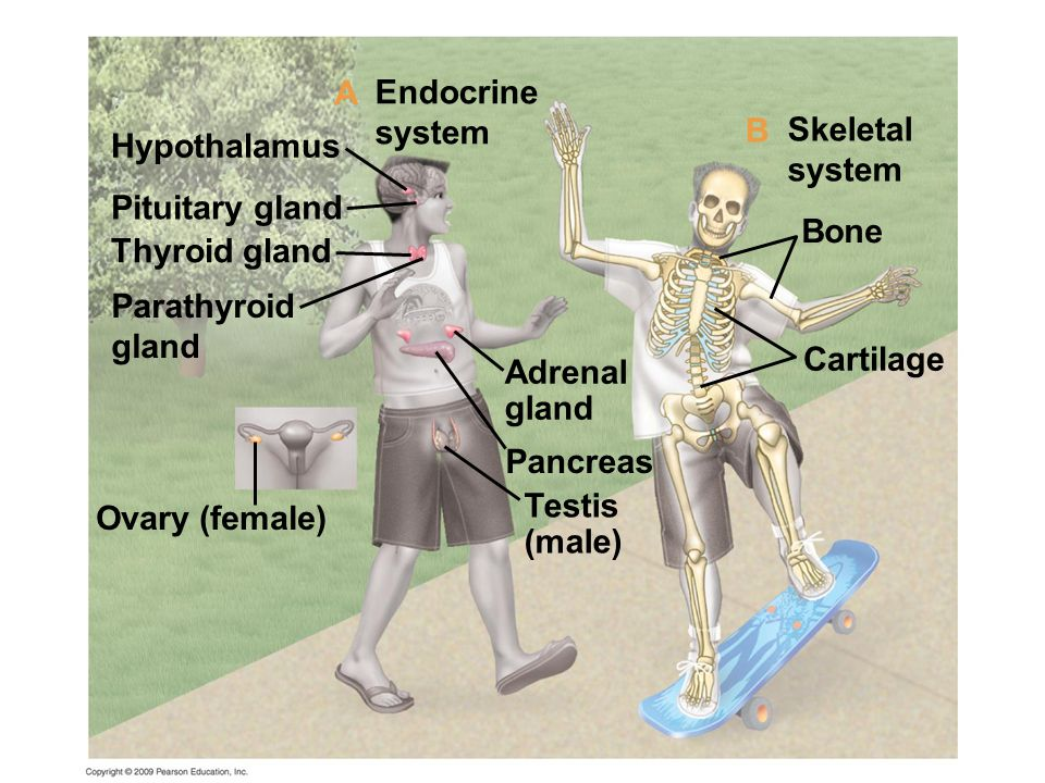 Cartilage Bone Skeletal system Adrenal gland Pancreas Testis (male) Ovary (female) Hypothalamus Pituitary gland Thyroid gland Parathyroid gland Endocr