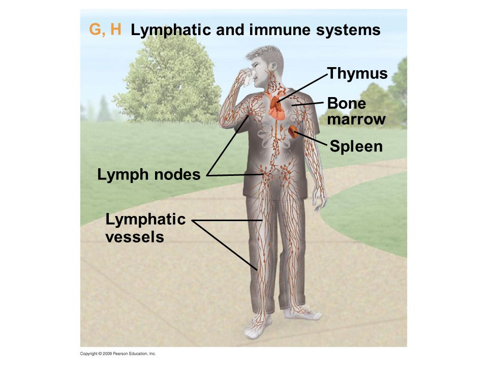 Lymphatic and immune systems G, H Thymus Bone marrow Spleen Lymph nodes Lymphatic vessels