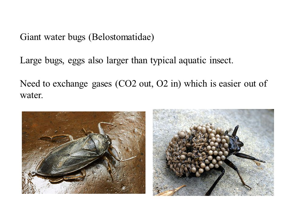 Giant water bugs (Belostomatidae) Large bugs, eggs also larger than typical aquatic insect.