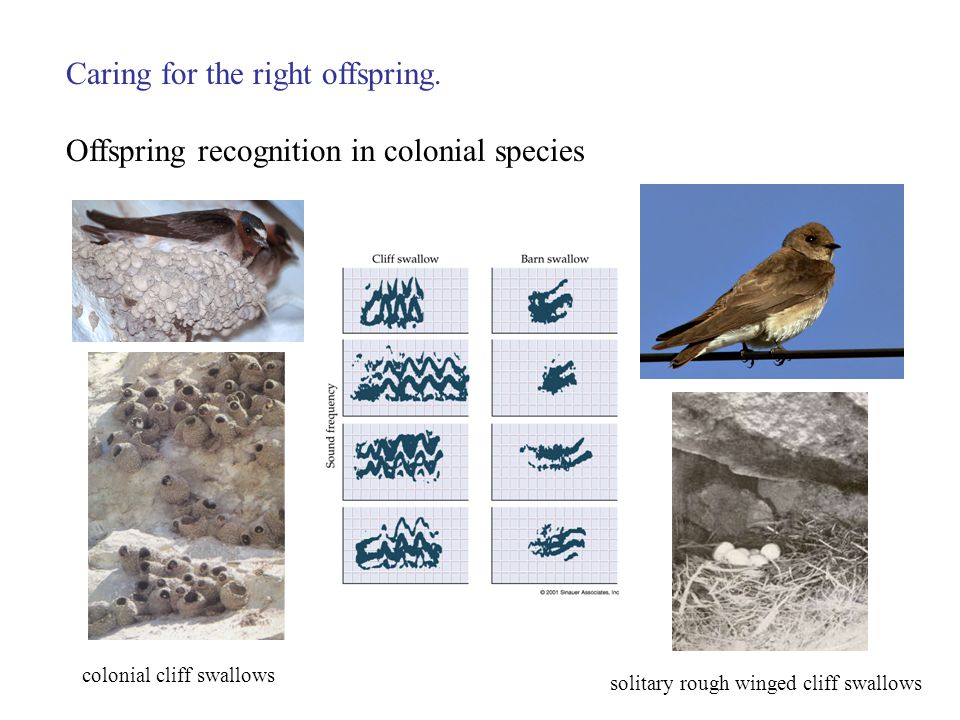 Caring for the right offspring. Offspring recognition in colonial species colonial cliff swallows solitary rough winged cliff swallows