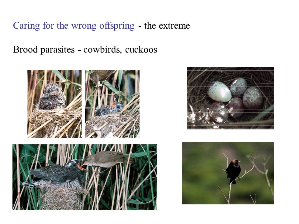 Caring for the wrong offspring - the extreme Brood parasites - cowbirds, cuckoos
