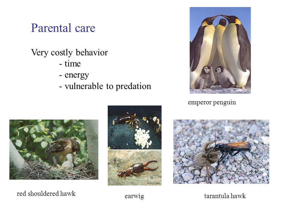 tarantula hawk red shouldered hawk emperor penguin Parental care Very costly behavior - time - energy - vulnerable to predation earwig