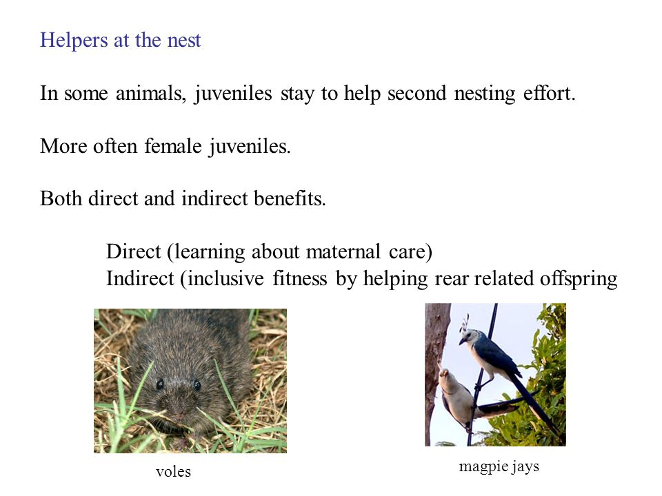 Helpers at the nest In some animals, juveniles stay to help second nesting effort.