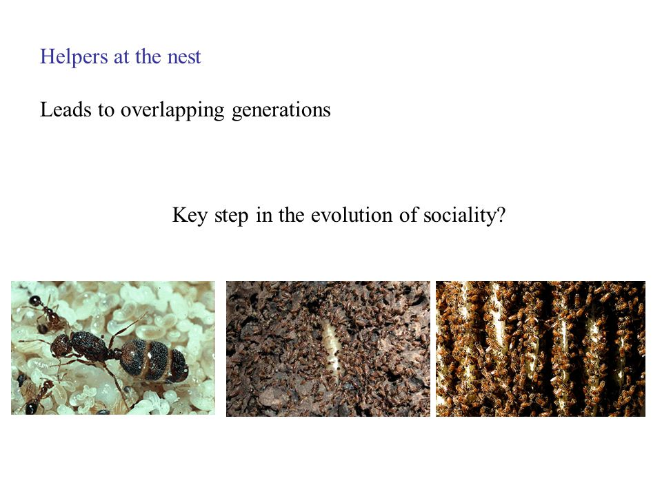 Helpers at the nest Leads to overlapping generations Key step in the evolution of sociality?