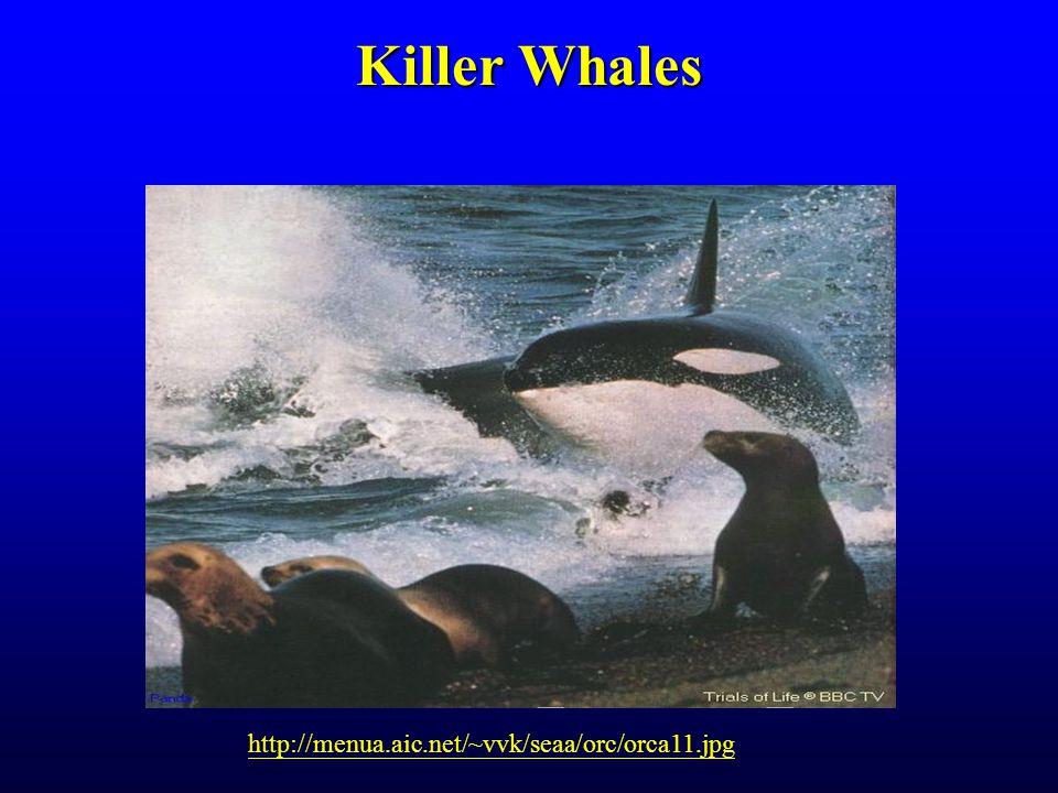 Killer Whales http://menua.aic.net/~vvk/seaa/orc/orca11.jpg