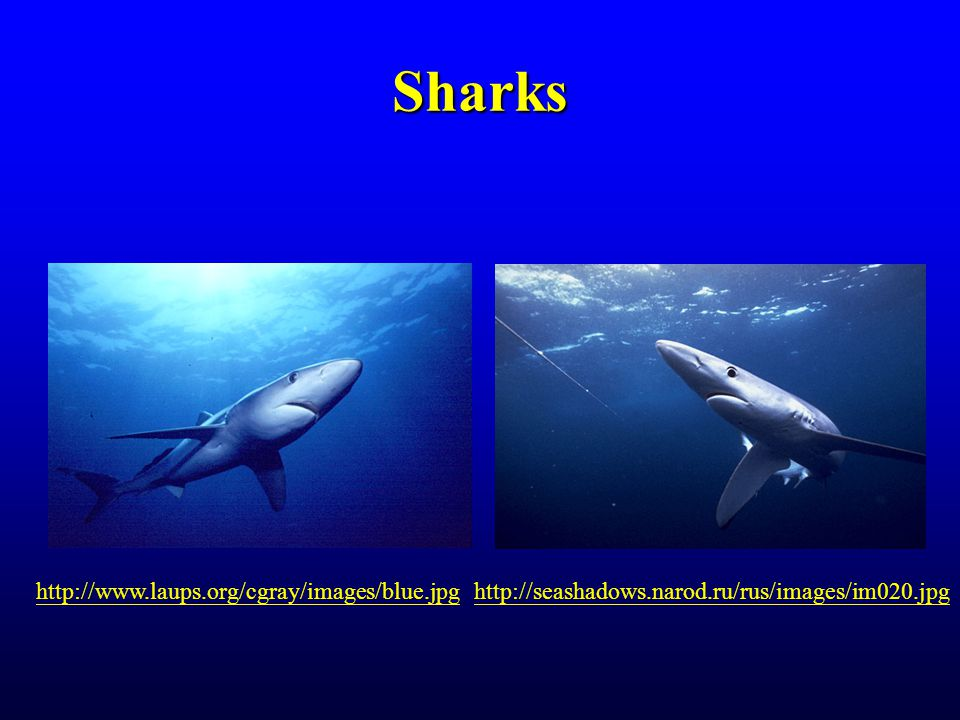 Sharks http://www.laups.org/cgray/images/blue.jpghttp://seashadows.narod.ru/rus/images/im020.jpg