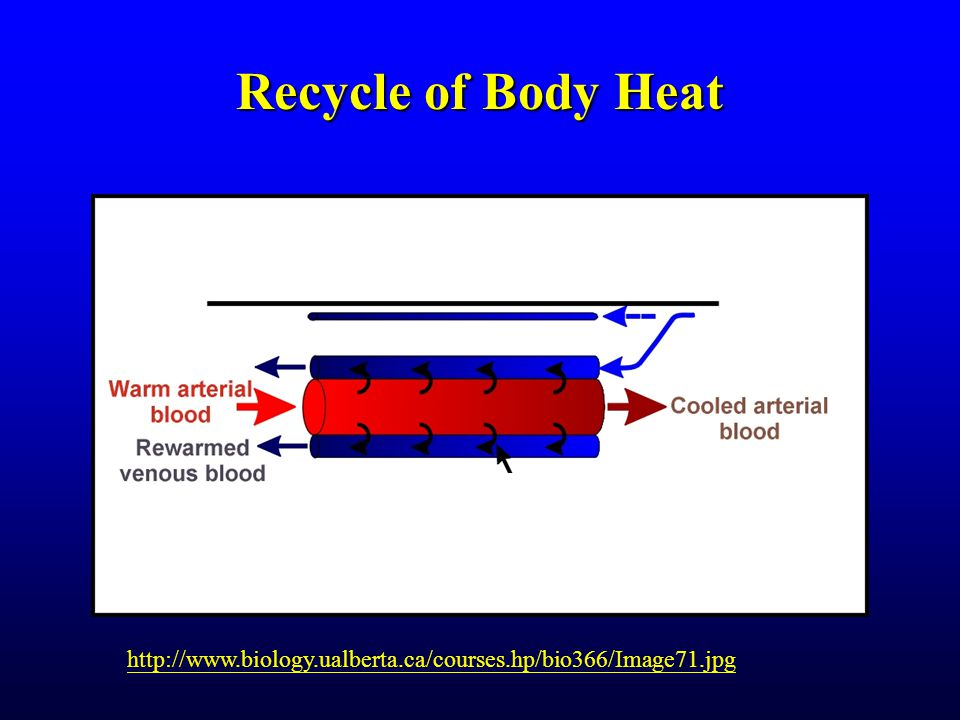 Recycle of Body Heat http://www.biology.ualberta.ca/courses.hp/bio366/Image71.jpg