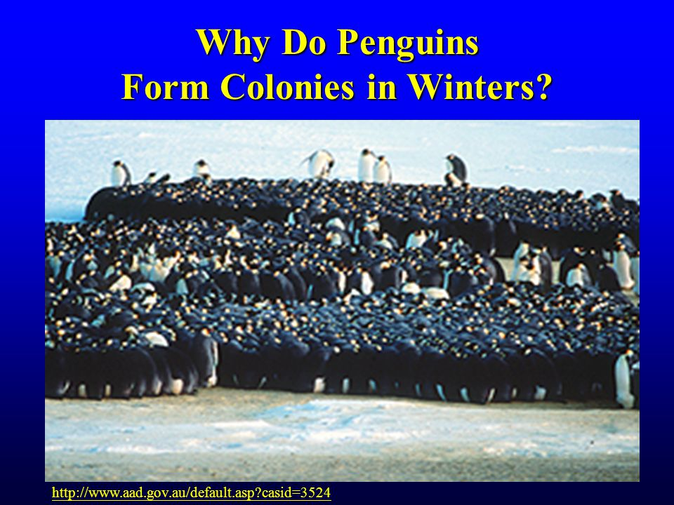 Why Do Penguins Form Colonies in Winters http://www.aad.gov.au/default.asp casid=3524