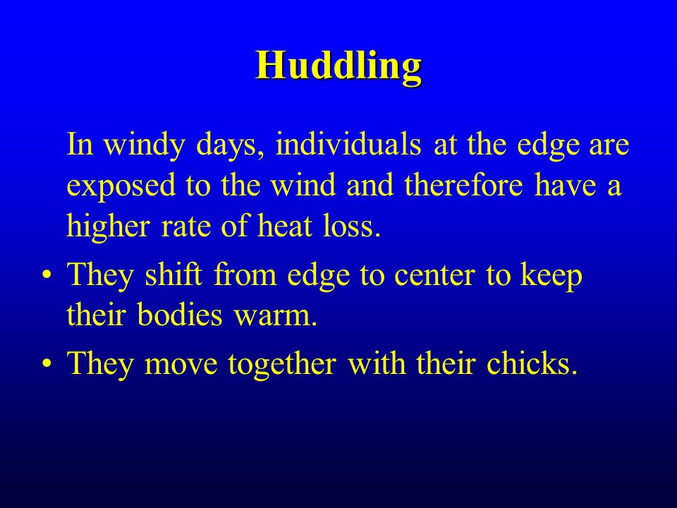 Huddling In windy days, individuals at the edge are exposed to the wind and therefore have a higher rate of heat loss.