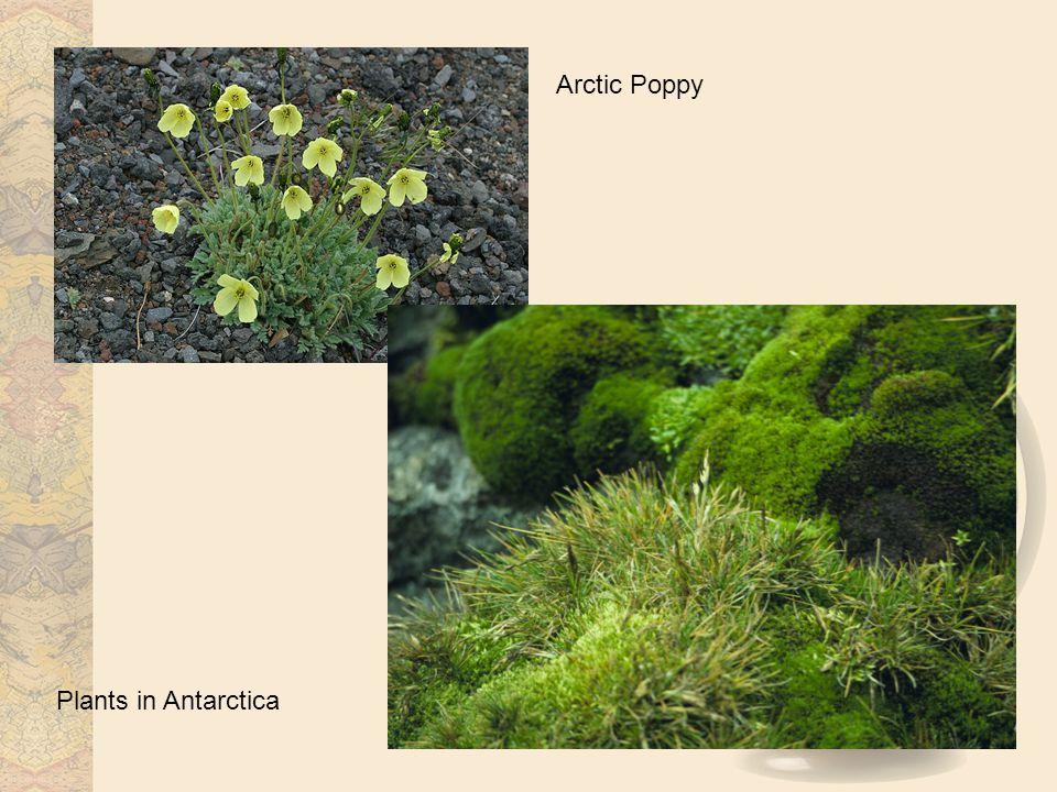 Arctic Poppy Plants in Antarctica